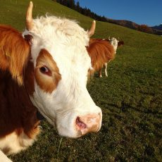 Simmental : La race bovine Simmental