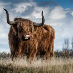 Highland cattle Tout savoir sur la race bovine Highland Cattle