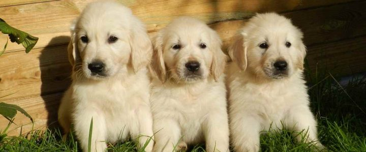 Golden Retriever : origine et histoire du Golden Retriever