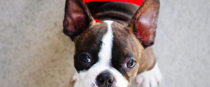 Origine de Boston Terrier