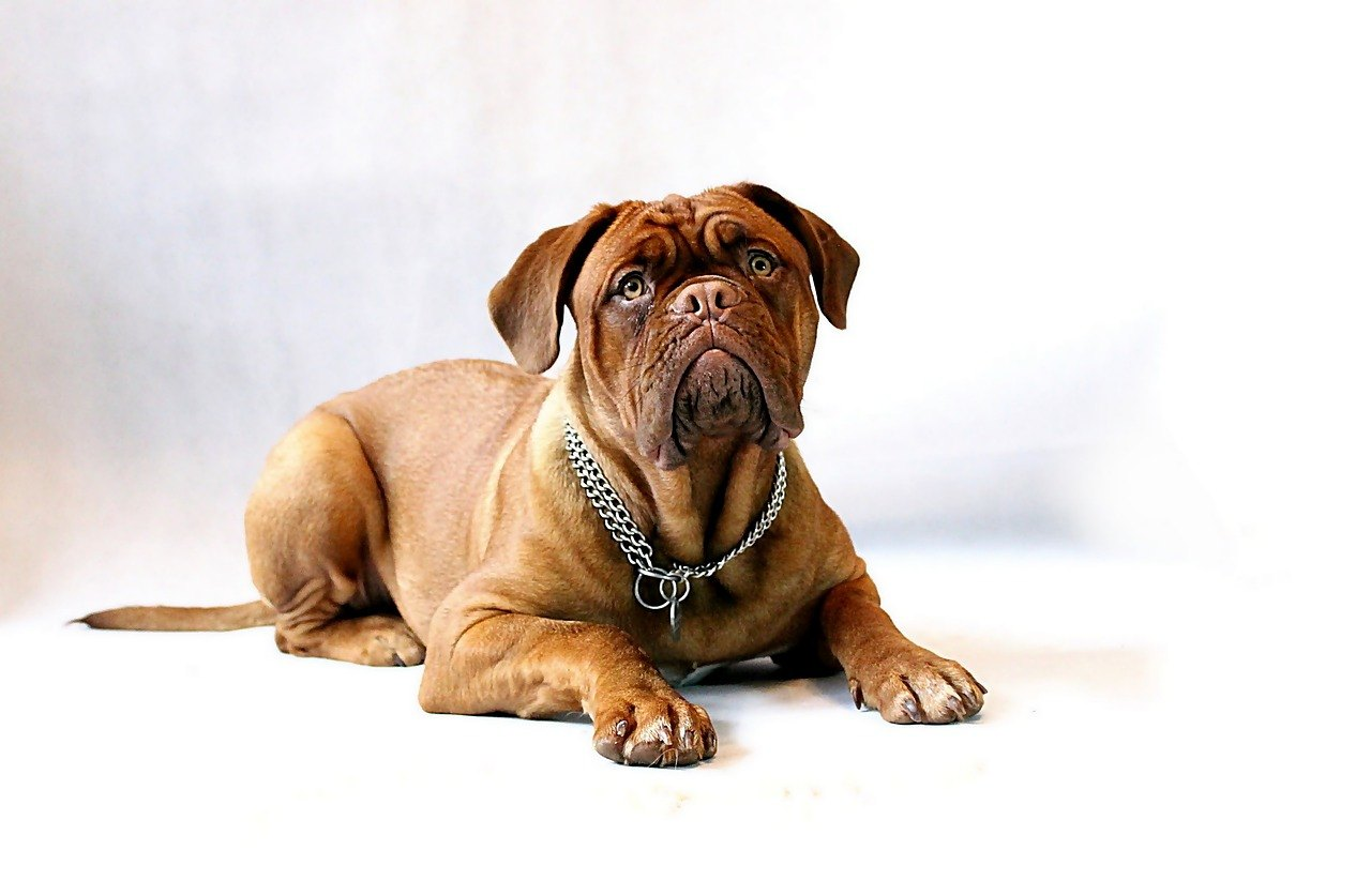 origine de Dogue de Bordeaux