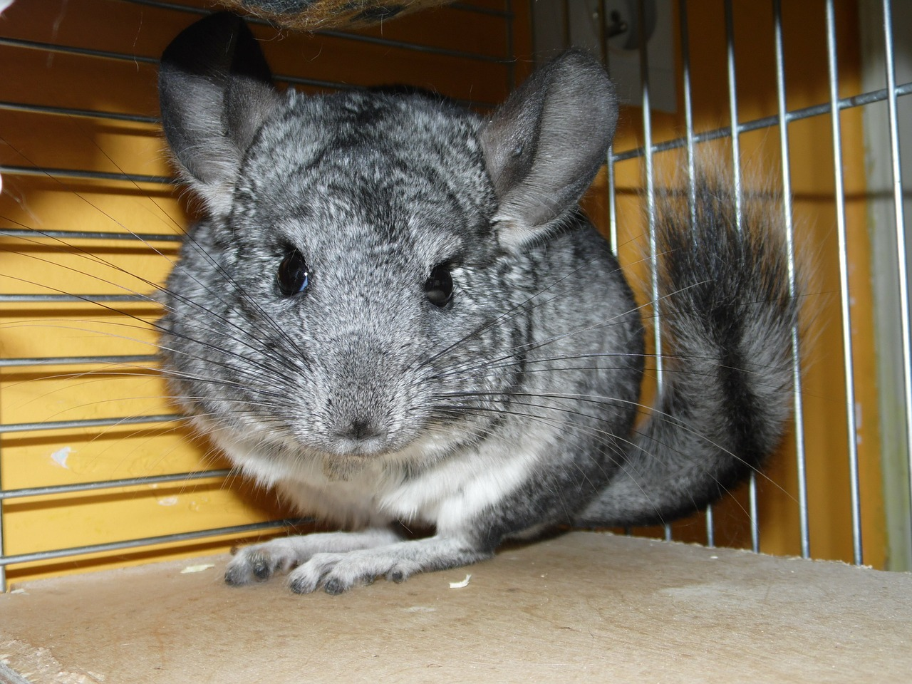 guide-chinchilla